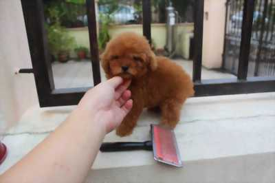 Chó poodle ( nâu đỏ ) cái ( 8 tháng )