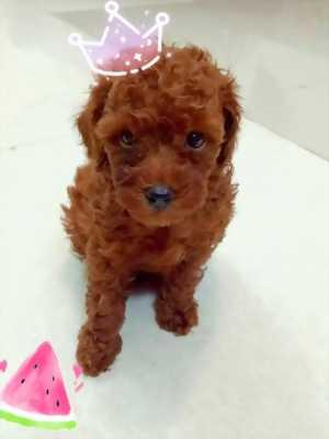 Tìm nhà cho 2 bé Poodle đực 6 tháng (chó nhà)
