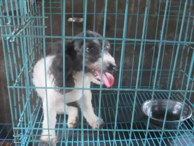 Thanh lý 1 cặp chó poodle trưởng thành