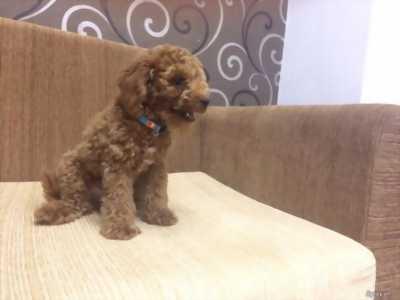 Cần bán poodle đực size toy màu socola