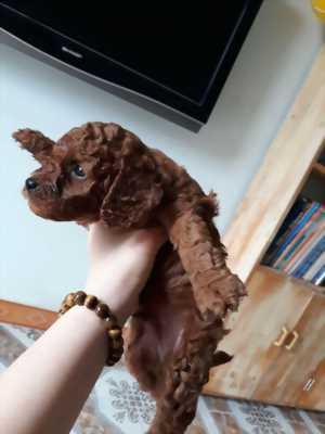 Poodle nâu chó nhà đẻ, 3 tháng đã tiêm phòng