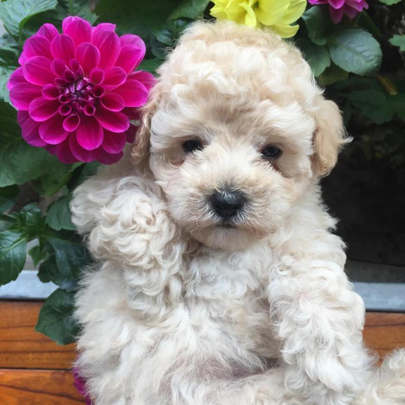 Bán chó poodle tini trắng