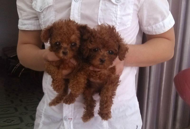 Poodle nâu đỏ 2 tháng tuổi