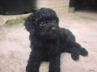 Cần bán 1 bé cái poodle đen