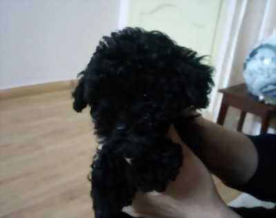 Poodle cái màu đen tiny