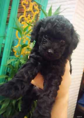 Poodle đen bóng đẹp