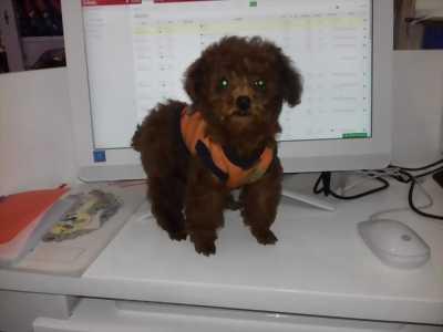 Bán chó Poodle Tiny cực đáng yêu