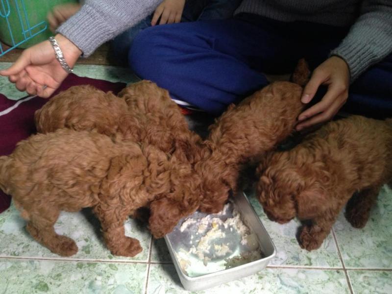 Đàn Poodle kem 45 ngày tuổi