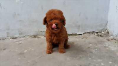 Poodle nâu đỏ 1 lứa 4 em mới phối 2 ngày