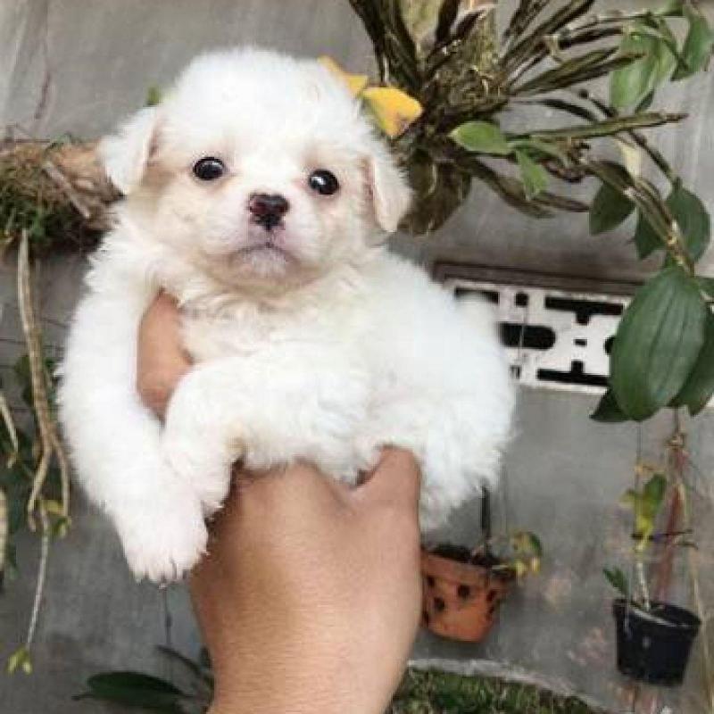 Chó cái Poodle lai Nhật cực xinh 2,5 tháng