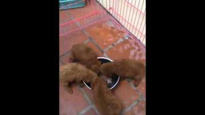 Bán buôn đàn poodle
