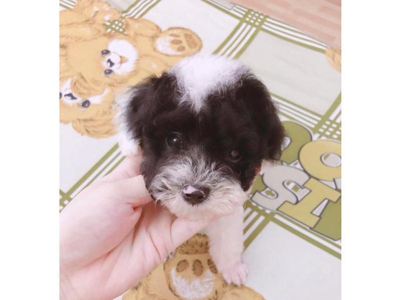 Cần tìm chủ mới cho 2 em Poodle (2 tháng)