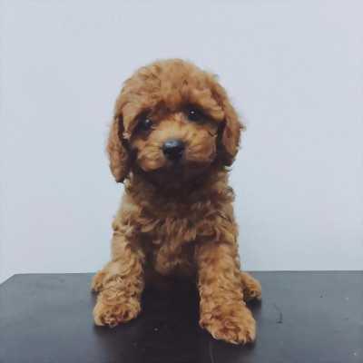 (Hải Phòng) Cần bán chó Poodle 2 tháng tuổi