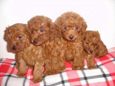 Hải Phòng cần bán chó Poodle
