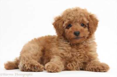 Hải phòng cần bán 2 bé chó poodle
