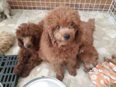Chó Poodle 3 tháng tuổi