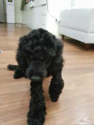 Bán em Poodle (Đực), màu đen, 6 tháng tuổi, nặng 4,6kg