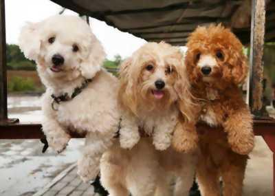bán chó poodle đẹp