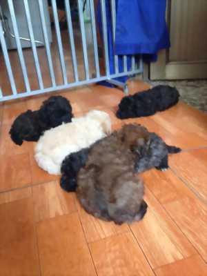 Cần bán con chó poodle tiny hai tháng tuổi