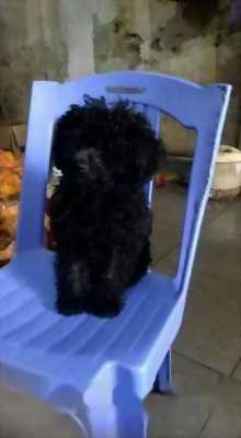 Bán chó Poodle mini đực