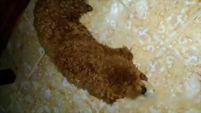 Poodle cần giao lưu sang loài chó to