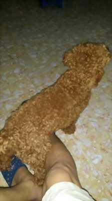 Cần bán em toy Poodle