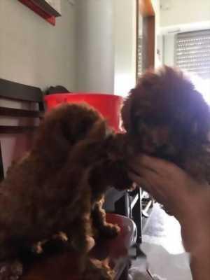 Cần bán chó Poodle toy