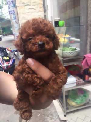 Chó Poodle Tiny với teacup nâu đỏ