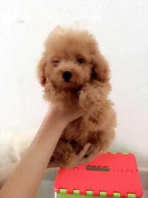 Bán chó Poodle đực