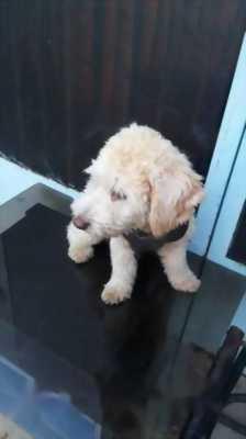 Bán chó Poodle bảy tháng tuổi