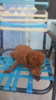 Bán chó Poodle màu nâu đỏ năm tháng tuổi đực