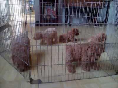 Bán chó Poodle màu nâu đỏ cái
