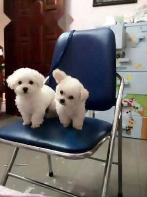 Muốn bán e Poodle tiny trắng