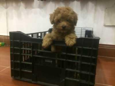 Cần bán Poodle size nhỏ nâu đậm đực