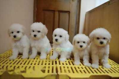 Cần bán chó Poodle tiny đực