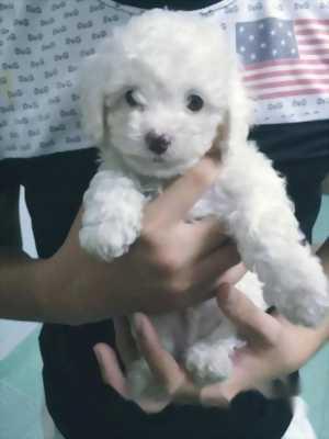 Bán chó Poodle trắng