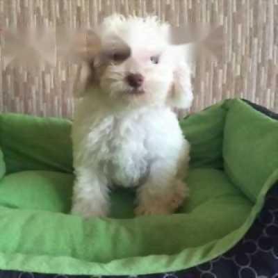 Bán chó Poodle