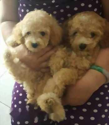 Chó Tiny Poodle giá rẻ