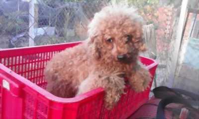 Bán chó Poodle Tiny trưởng thành