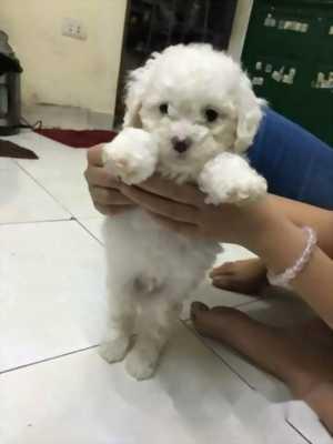 Bán Poodle Tiny trắng tông sáng