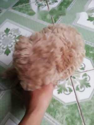 Bán e Poodle cái hai. 5 tháng