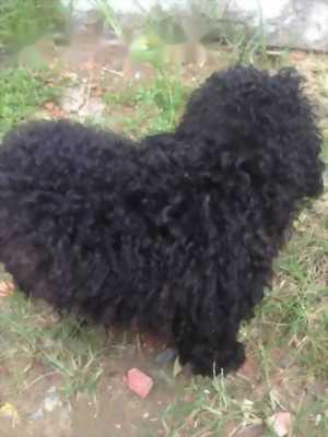 Bán Poodle đực đen 5. 5 tháng