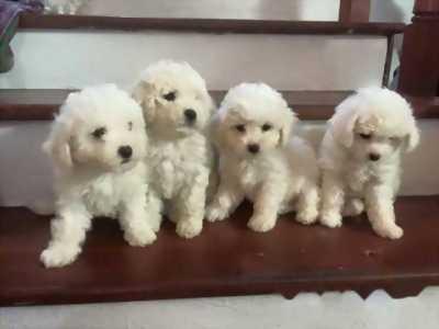 Cần bán Poodle tiny chân ngắn