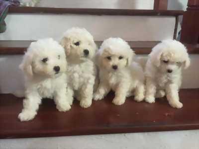 Bán Poodle Tiny trắng