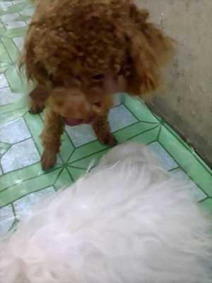 Cần bán Poodle đực