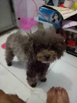 Poodle 2thang tuổi