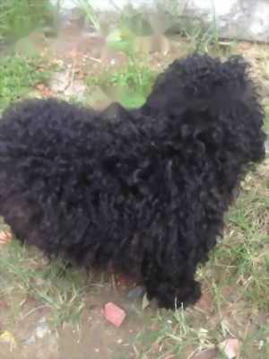 Poodle đực đen năm tháng rưỡi