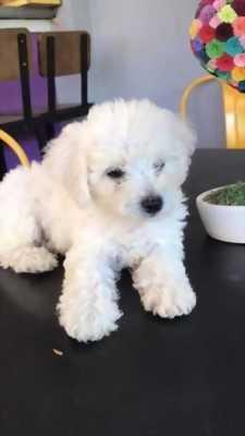 chó poodle trắng & nâu đỏ ba tháng tuổi HCM
