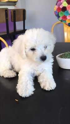 Bán chó Poodle màu nâu đỏ & trắng ba tháng tuổi HCM
