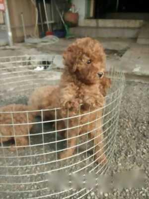 Cần bán chó Poodle tiny nâu đỏ thuần chủng